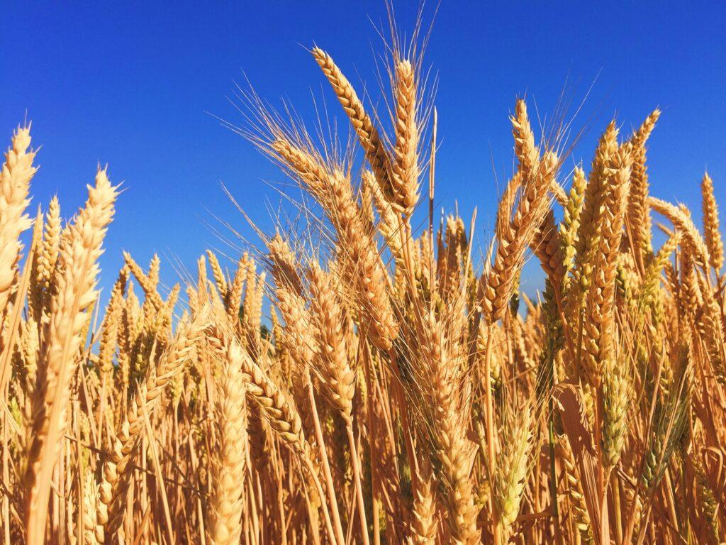 Photo of wheat field