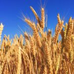 Photo of wheat field